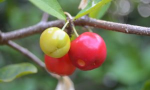 acerola-cherries-antioxidant-fruits