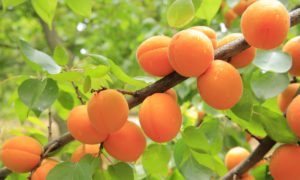 apricots-antioxidant-fruits