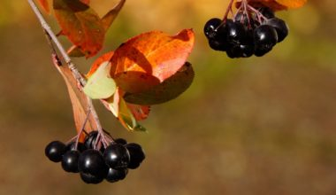 aronia-berry-antioxidant-fruit