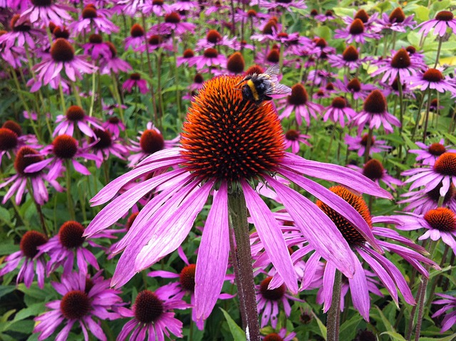 echinacea-herbal-remedy
