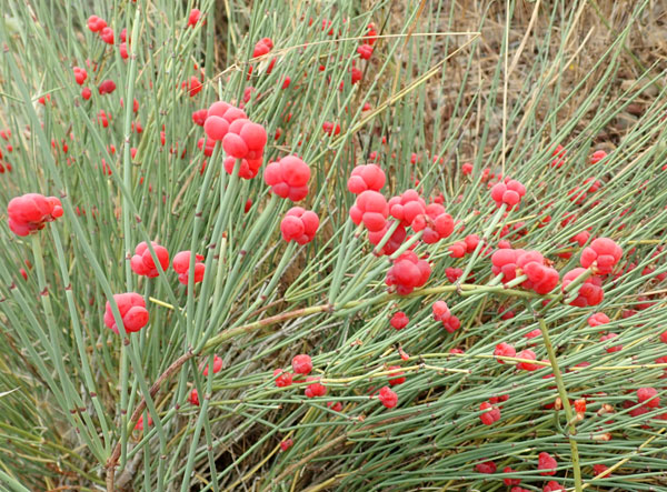 ephedra-herbal-remedy