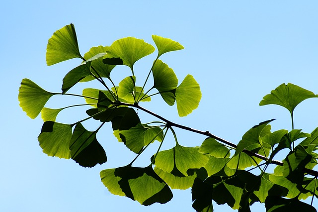 ginkgo-herbal-remedy
