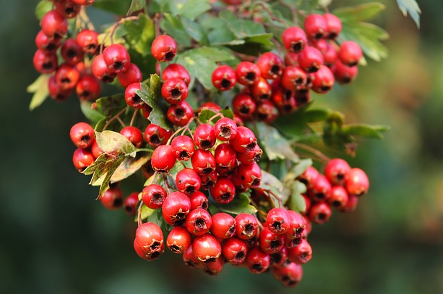 hawthorn-herbal-remedy