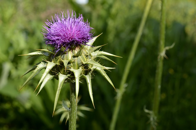 milk-thistle-herbal-remedy